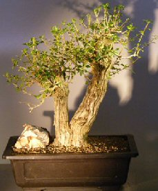Tropical Boxwood - Double Trunk Style (Neea buxifolia)