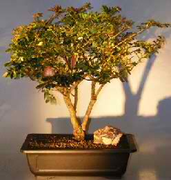 Dwarf Powder Puff Bonsai Tree (Calliandra haematocephala)