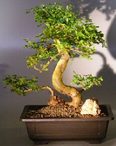 Ligustrum Bonsai-Curved Tr & Tiered Branch (Ligustrum lucidum)