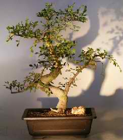 Chinese Elm - Curved Trunk & Tiered Branch (Ulmus parvifolia)