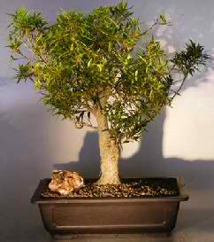 Willow Leaf Ficus Bonsai Tree (Ficus nerifolia/salisafolia)