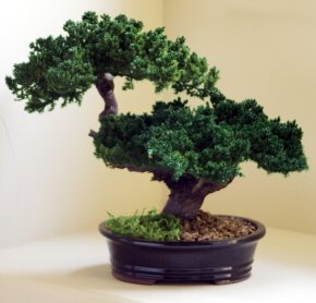Monterey-Double Trunk-Preserved Bonsai Tree (Not a living tree)